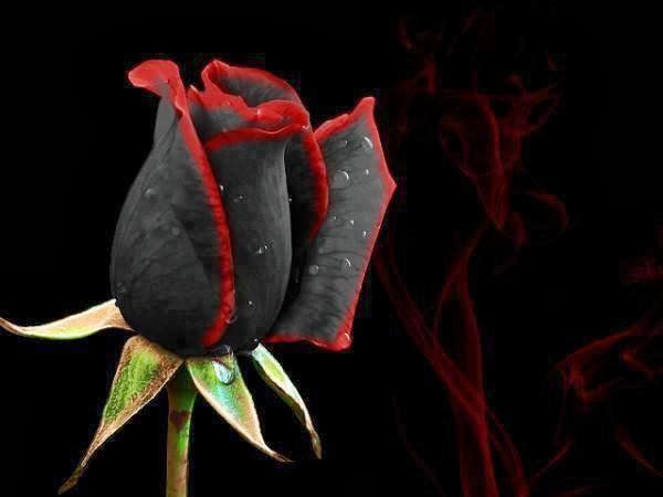 Beautiful Roses Wallpapers Free Download Black Rose Wallpapers Free