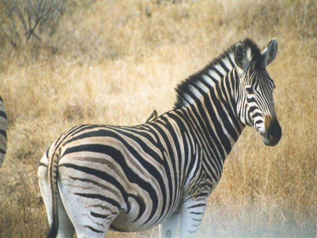 Zebra | Animal Wildlife