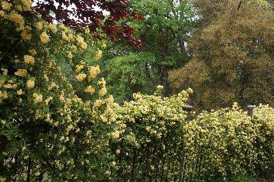 Yellow Bank roses