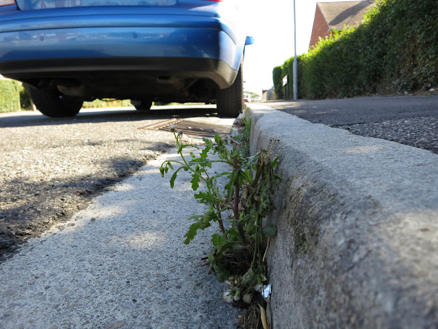 Groundsel in Kerb by Blue Car