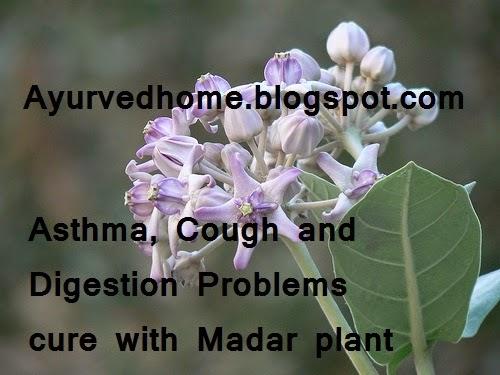 Asthma Cough and Digestion Problems cure with madar plant , अस्थमा , खांसी और पेट की बीमारी में आक के पौधा से दवाई