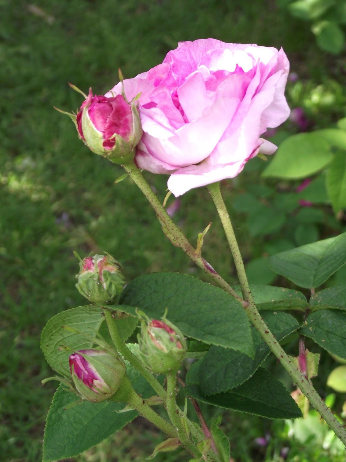 promesse de roses rose de la ma tre ecole. Black Bedroom Furniture Sets. Home Design Ideas