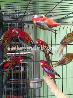 Jual burung rosella red eastern