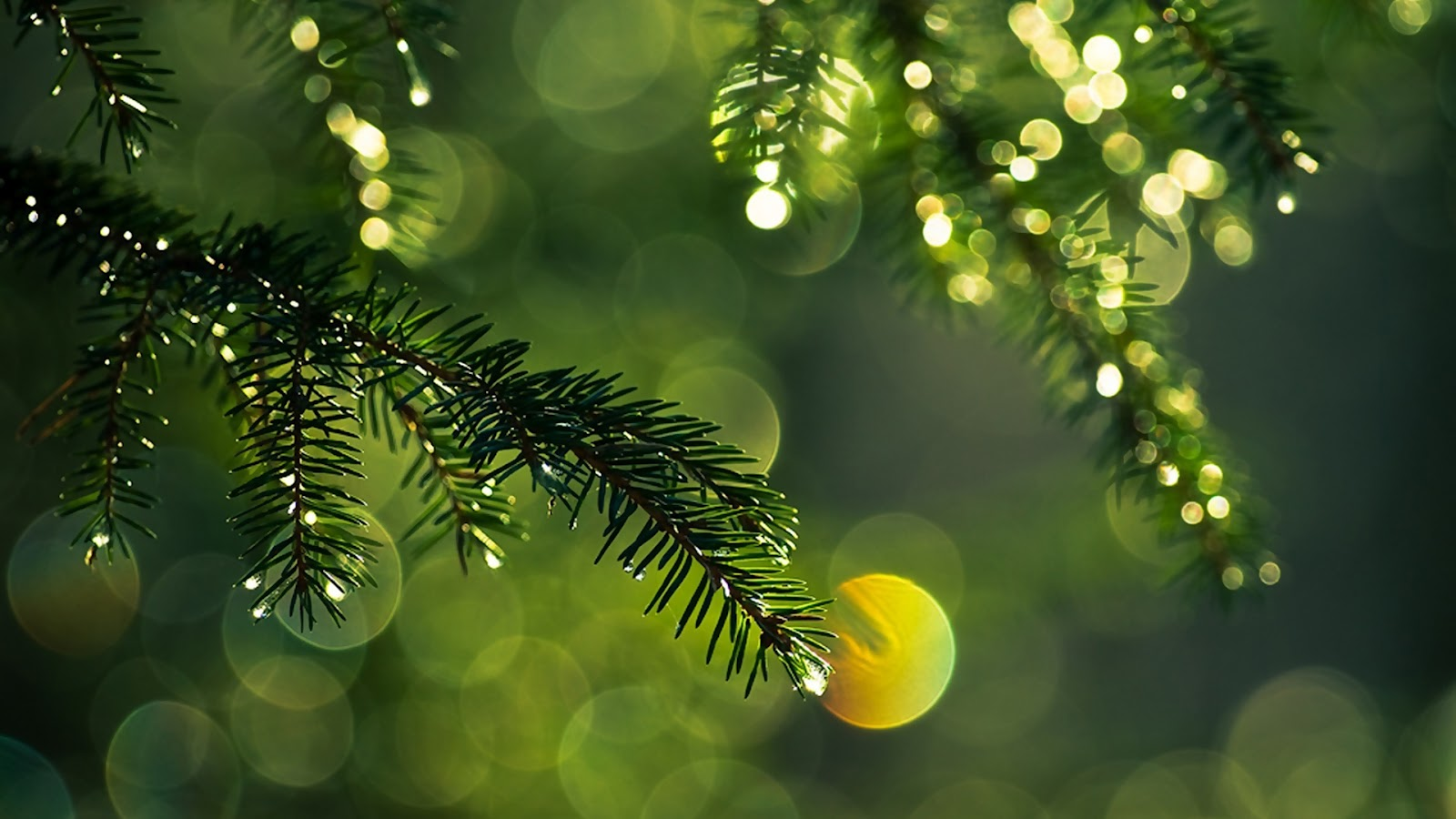 Fir Tree After the Rain