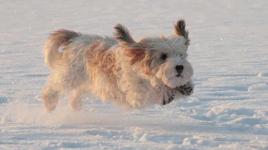 Petit Basset Griffon Vendeen | Fun Animals Wiki, Videos ... Petit Basset Griffon Vendeen Nz
