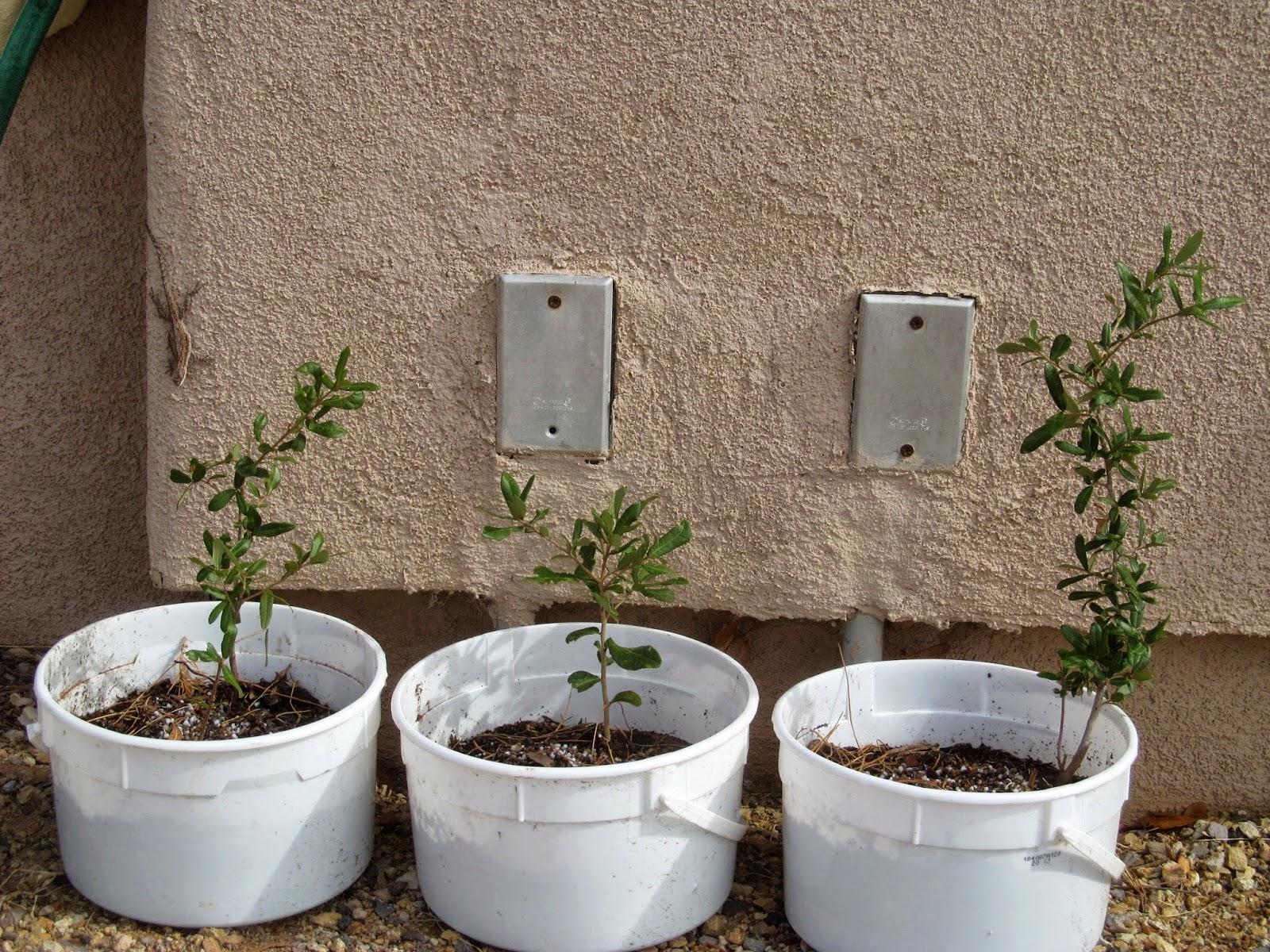 cloned oaks