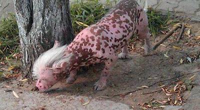 Anjing Pelik Sehodoh Babi