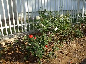 Evergreen Roses