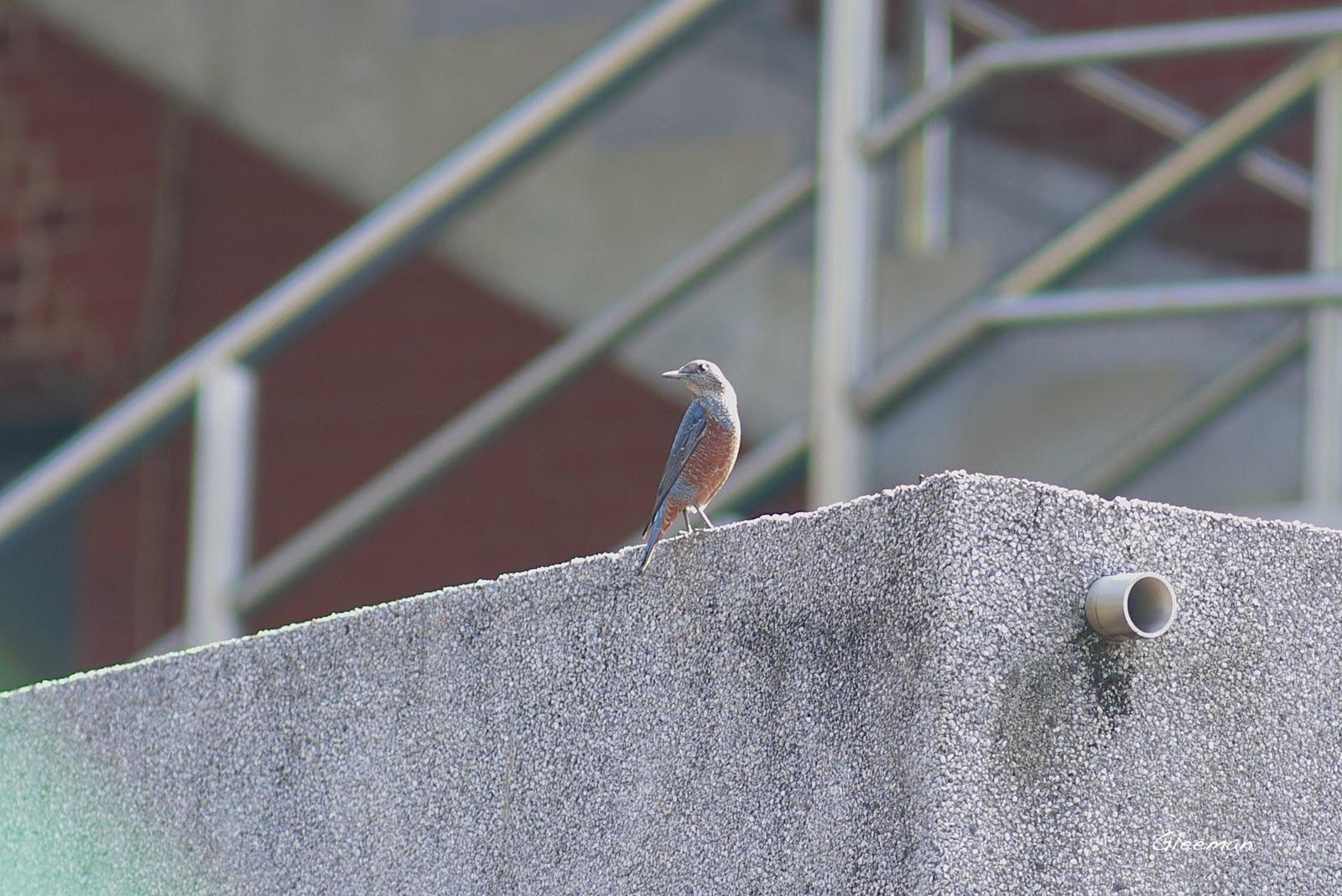 藍磯鶇出現在山腳的自強公園旁崗哨。