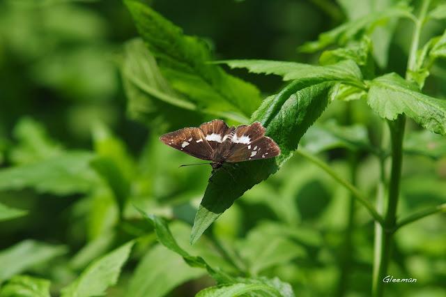 雞南山散步,玉帶弄蝶