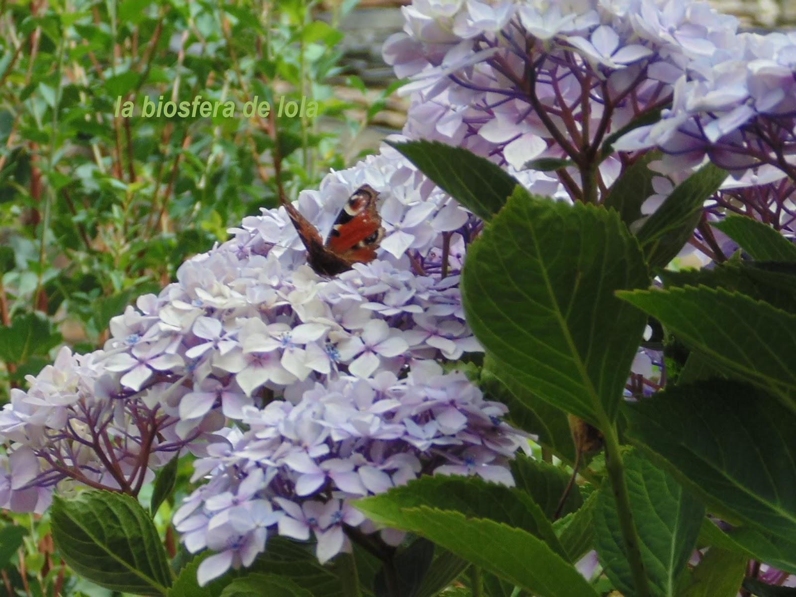 La biosfera de lola hortensias en el jard n de lola for El jardin de la lola