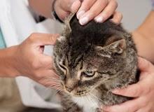 veterinaria online otitis en gatos