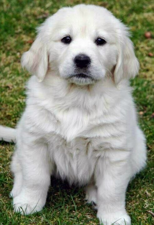See more  White golden retriever,  http://cutepuppyanddog.blogspot.com/