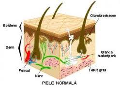 Anatomia  si  histologia  pielii: Embriologie