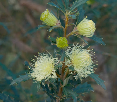 Pingle (Banksia (Dryandra) squarrosa)