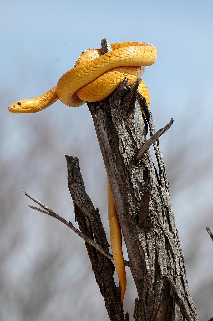 Las 10 Serpientes más Peligrosas de África