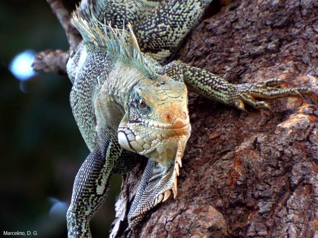 Iguana-verde-Green-iguana-sinimbu