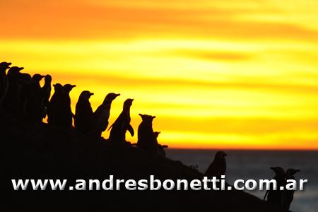 Pingüino de Magallanes al atardecer - Magellanic Penguin at Sunset - Península Valdés - Patagonia - Andrés Bonetti