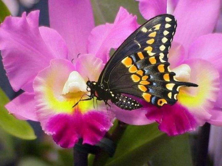 La iliturgitana galdina ii una flor y una mariposa for Sfondi con farfalle