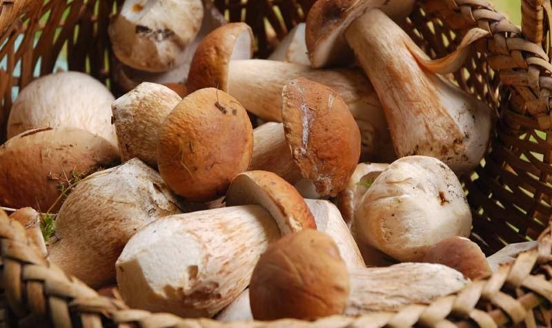 Cachorro pode comer cogumelos?