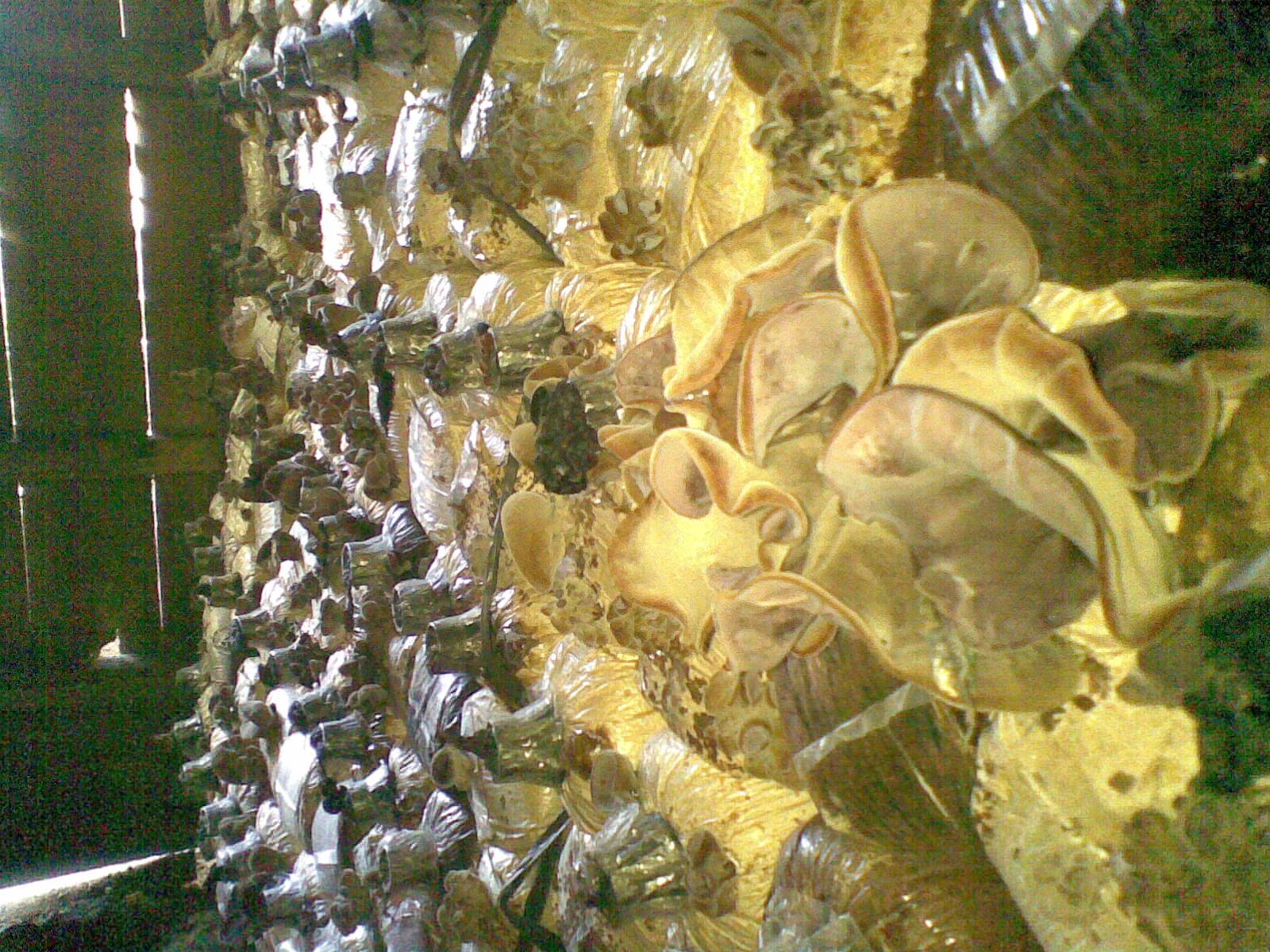 kumbung jamur kuping
