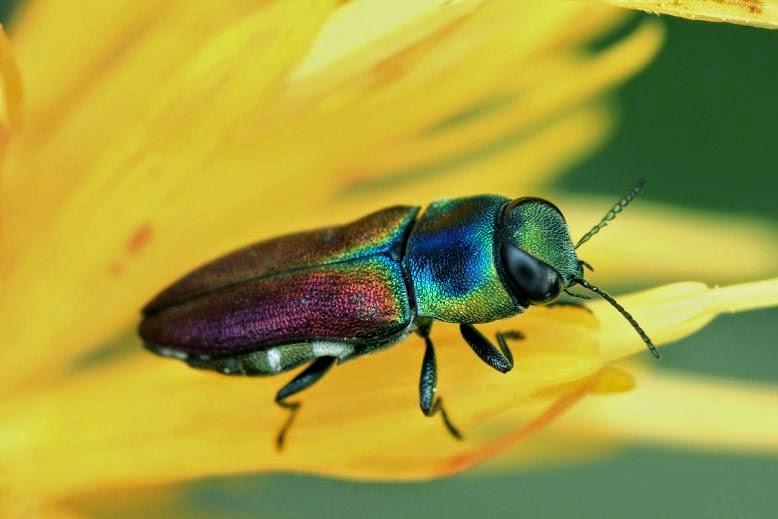 Anthaxia fulgidipennis