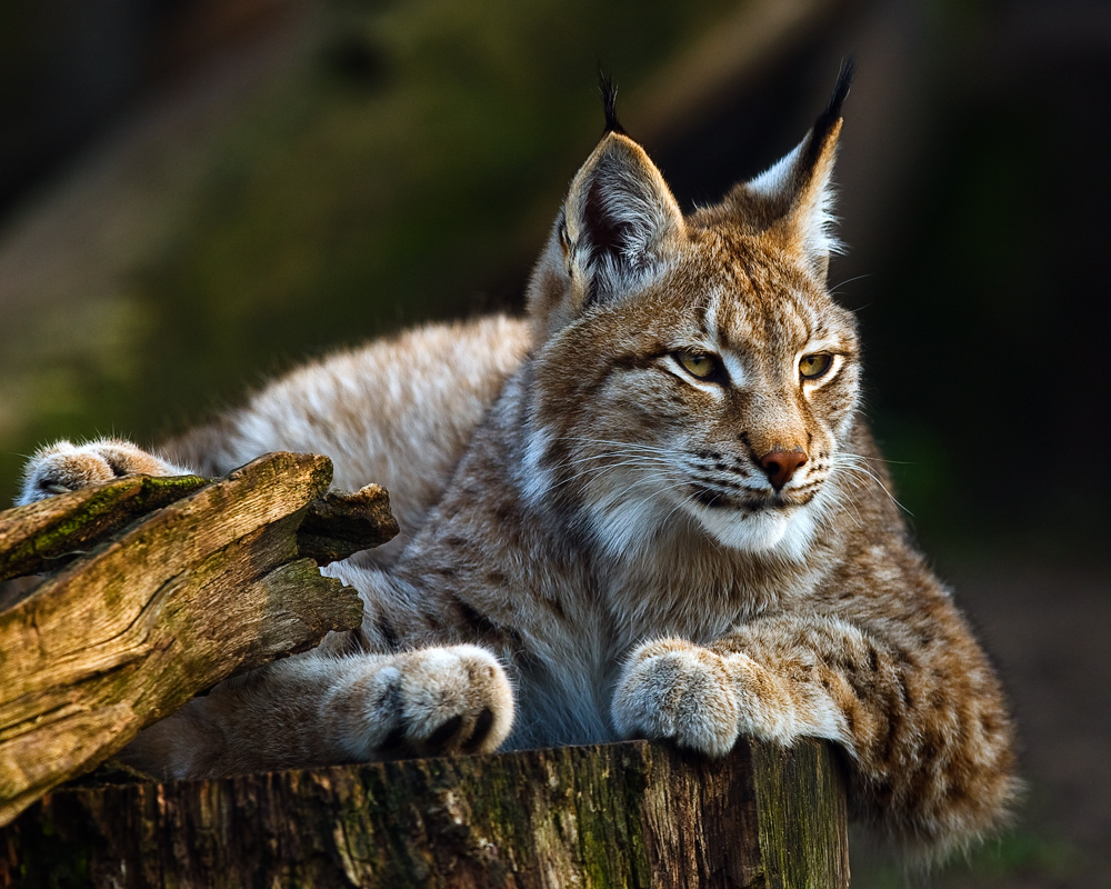 lynx forest jungle animal - photo #20