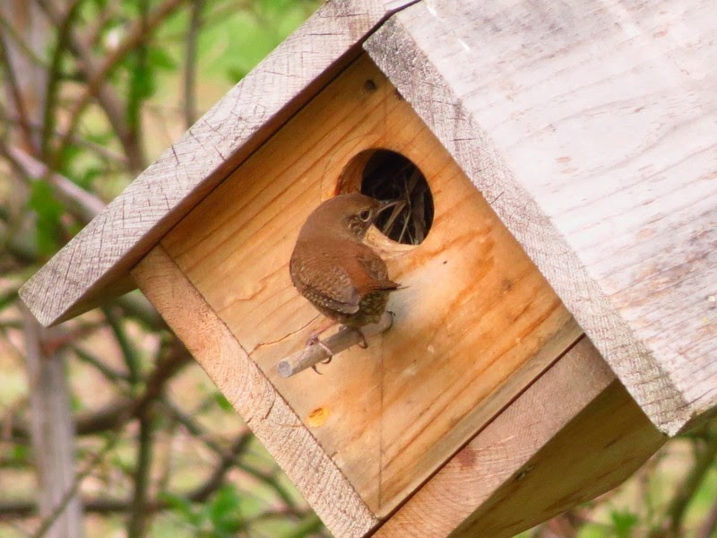 house wren checks house