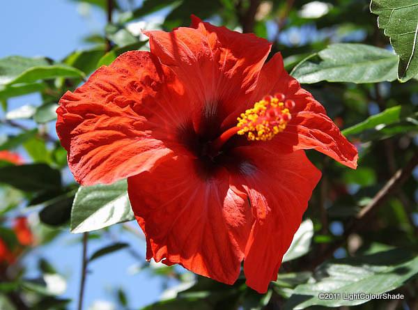Hibiscus, Rosa Sinensis