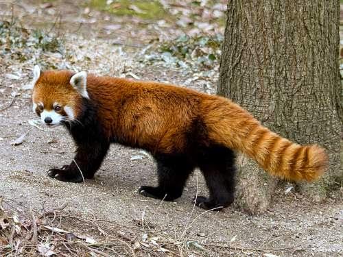Nepal wildlife - Red panda (Ailurus fulgens)