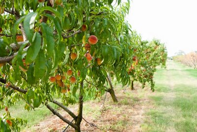 Jabbering Joe Shinto Blog The Peach Orchard