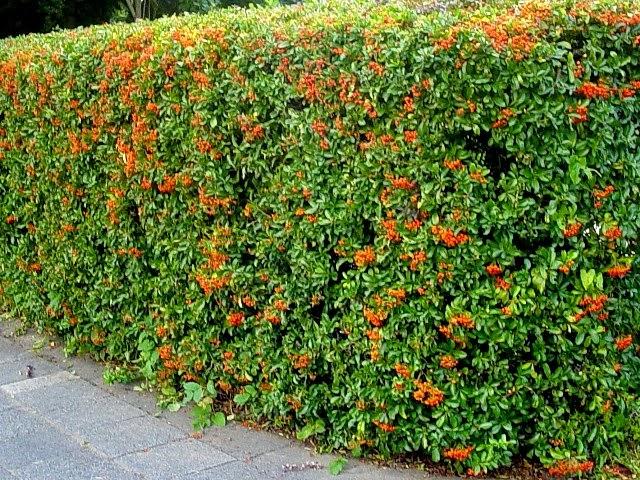 Siepi Da Giardino Crescita Veloce : Il mondo in un giardino sempreverdi per siepi