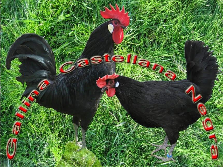 Gallina Castellana Negra