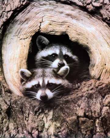 Insect Control in NJ | Alco Pest Control: Raccoon Removal ...