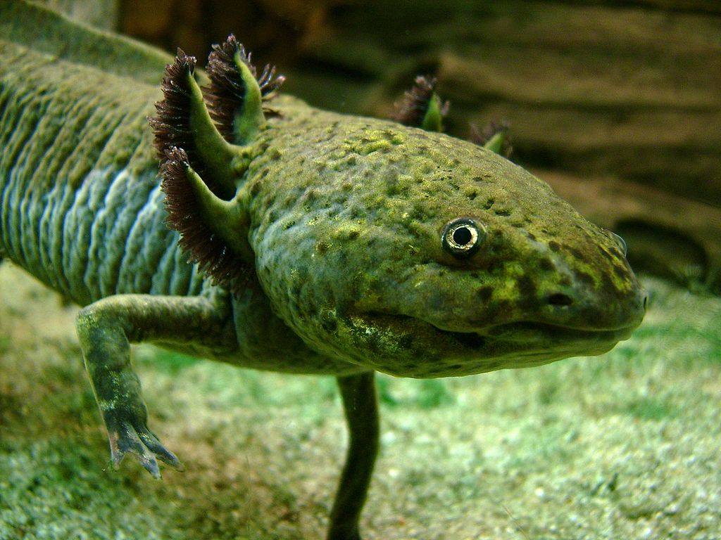 Real monstrosities axolotl for Do all fish have gills