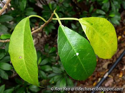 Buta-buta (Excoecaria agallocha)