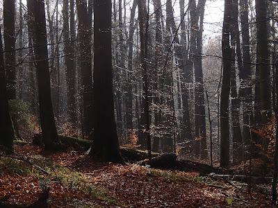 Muszyna, Mikowa Góra, rezerwat Obrożyska, grzyby zimowe, grzybobranie w grudniu, Płomiennica zimowa, zimówka aksamitnotrzonowa Flammulina velutipes, Uszak bzowy Auricularia auricula-judae, Chrząstkoskórnik purpurowy Chondrostereum purpureum, Pniarek obrzeżony - Fomitopsis pinicola, Hubiak pospolity Fomes fomentarius,