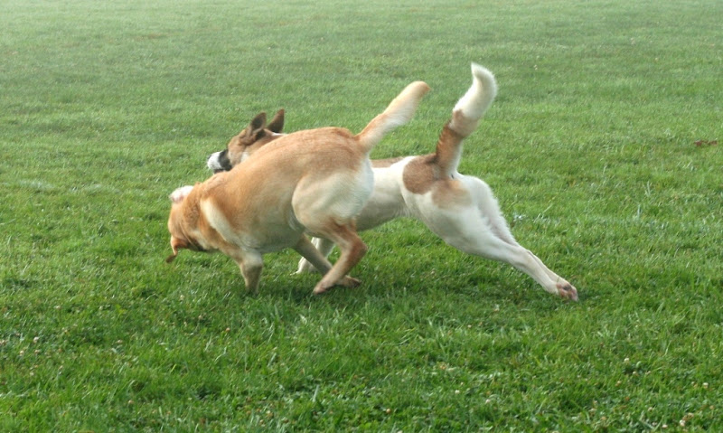 cabana and kia the akita running side by side and engaged in play