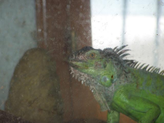 Iguana Verde pequeña