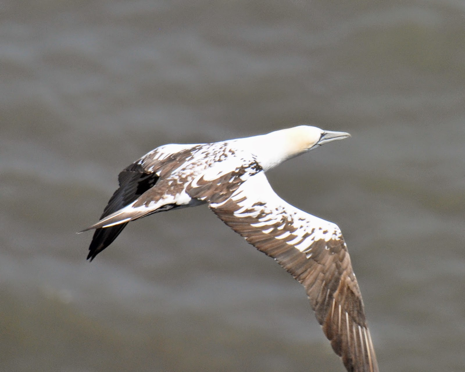 juvenile gannet in flight aged 3 years old