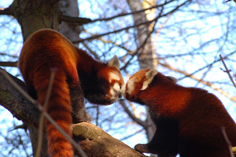 40 Adorable red panda pictures (40 pics), two red pandas kissing on the tree