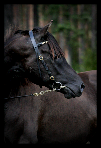 helt svart häst