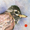 colored pencil drawing of American Robin, copyright Rose Welty