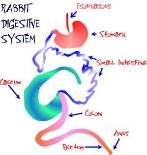 Pencernaannya mempunyai bagian yang membesar yang dihuni oleh mikroba