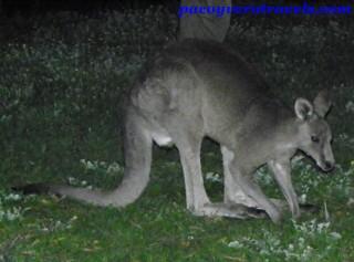 Manadas de canguros en las Grampians