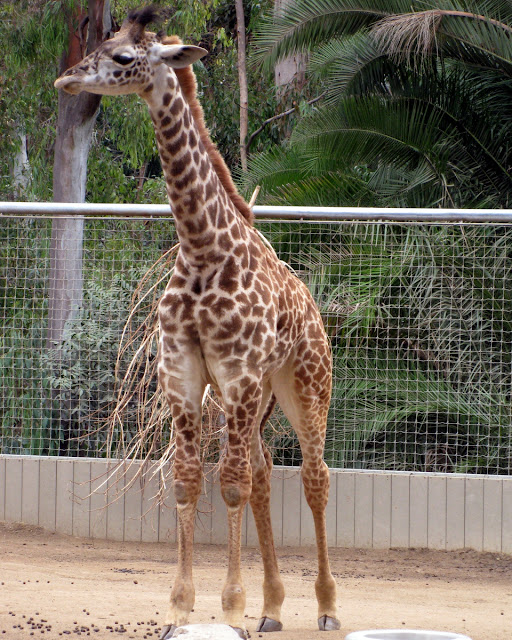 Murrieta365 giraffes at San Diego Zoo