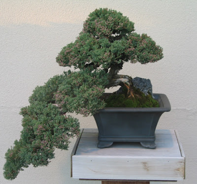 juniperus procumbens bonsai