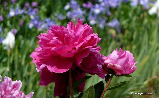 Jardin de Giverny - pivoine