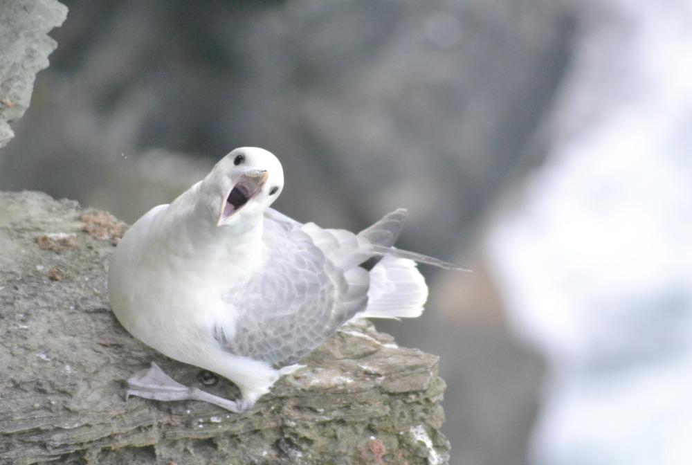 fulmar bird orkney birsay