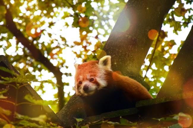 Panda roux zoo de Lille